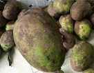 Dân Hà thành phát cuồng với xoài lạ nặng 2kg/quả