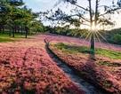 Quyến rũ cỏ hồng Đà Lạt