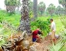 Hiện tượng đào, bán cây thốt nốt ở An Giang: Lợi đâu chẳng thấy…