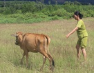 """Muốn nhận bò giống """"miễn phí"""", dân nghèo phải nộp tiền triệu!"""