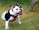 Gặp Bonsai, chú chó 2 chân đáng yêu