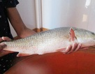 Những loại cá đắt như vàng biến ngư dân thành tỷ phú