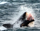 Nghẹt thở khoảnh khắc hải cẩu thoát chết trước hàm cá mập