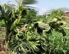 Kỳ lạ cây dừa đâm đọt thành hình… rồng, phụng