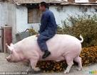 Người nông dân cưỡi con lợn nái khổng lồ nặng 1.200kg đi quanh thôn