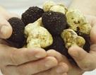Loại nấm cực hiếm có giá đắt nhất thế giới