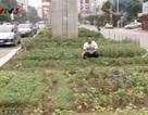 Người dân Thủ đô trồng rau sạch dưới chân tuyến đường sắt trên cao
