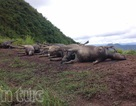Đàn trâu 19 con tại Hà Giang chết do sét đánh
