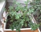 Trồng rau sạch trong thùng xốp: Những khuyến cáo cần biết