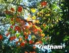 Khám phá rừng lá phong tự nhiên độc nhất vô nhị tại Việt Nam
