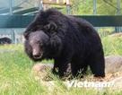 Cuộc sống cùng cực trong nỗi đau đớn của những con gấu ở Tam Đảo
