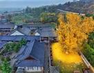 Cây 1400 năm tuổi trút lá nhuốm vàng chùa
