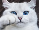 Đáng yêu chú mèo đặc biệt có đôi mắt tựa hồ thu