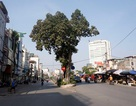"""Hà Nội: Cây giữa đường, đường né cây vì """"tâm linh"""""""