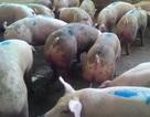 Báo động heo nhiễm chất cấm vô chợ tết