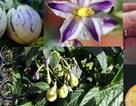 """Dưa pepino được chị em ráo riết """"săn lùng"""" trồng thế nào?"""