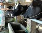 Thu tiền triệu mỗi ngày nhờ... bò sữa