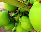 """""""Quá đã"""" vườn dừa xiêm lùn siêu ngọt trĩu trái nằm sát biển"""