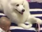 Chó ung dung cầm điện thoại cho bé sơ sinh xem hoạt hình