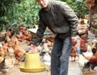 Kiếm tiền tỷ nhờ lên rừng nuôi gà sạch Tiên Yên