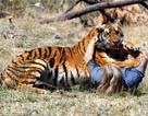 Cú thoát chết ngoạn mục khỏi sự tấn công của hổ của du khách ở Nepal