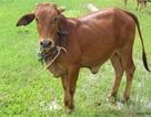 """Hy hữu ở VN: Xét nghiệm ADN tìm """"mẹ ruột"""" cho bò"""