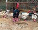 100 triệu đồng mua gà quý ăn Tết: Lùng khắp Bắc Bộ chiều đại gia