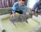 Tiệc cá tiến vua: Hàng thửa 200 triệu đại gia không tiếc tiền