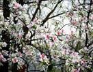 Hoa ban nở trắng rừng Tây Bắc