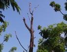 Mối họa khôn lường từ cây chết khô ở Hà Nội trước mùa bão