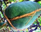 Nông dân làm dây giữ bí đao nặng nửa tạ trên giàn từ chất liệu gì?