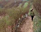 Không khí Tết đến sớm trên vườn đào Nhật Tân