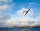 Chim biển có thể giúp nâng cao độ chính xác của dự báo thời tiết