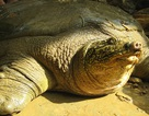 Hé lộ tư liệu quốc tế về nguồn gốc cụ rùa Hồ Gươm