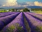 Khám phá 10 cánh đồng hoa đẹp nhất thế giới