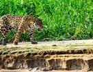 Báo đốm có thể tiến hóa để săn những con mồi nguy hiểm