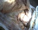 Bắt gần 700kg bì lợn nhập lậu bốc mùi hôi thối
