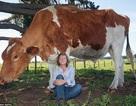 Choáng váng với con bò khổng lồ lớn nhất Australia
