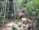 Bộ Công an mật phục lâm tặc ở Lâm Đồng: Bắt giữ 12 đối tượng