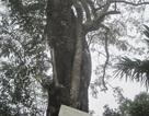 Tạm dừng khai thác cây sưa 24,5 tỷ đồng vì người dân ẩu đả