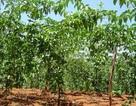 Lại chặt cà phê, trồng chanh để bán cho Trung Quốc