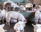 Giải pháp mới trong việc xử lý chất thải của các trang trại chăn nuôi lợn