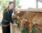 Sơn nữ Ê đê đi Thái nói chuyện nuôi bò