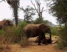Video hiếm về cái chết của chú voi cái đầu đàn