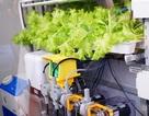 Thăm vườn rau sạch trồng kiểu Nhật đầu tiên tại Hà Nội