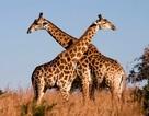 Hươu cao cổ ở châu Phi lần đầu tiên đứng bên bờ vực tuyệt chủng