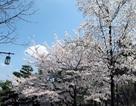 Mãn nhãn ngắm hoa anh đào khoe sắc ở Seoul