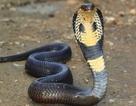Điều gì sẽ xảy ra khi bị rắn hổ mang cắn?