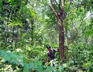 Trồng rừng gỗ lớn: Hướng đi mới của Hải Hà