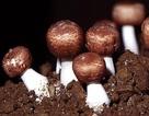 Nấm Agaricus - Thực phẩm kỳ diệu